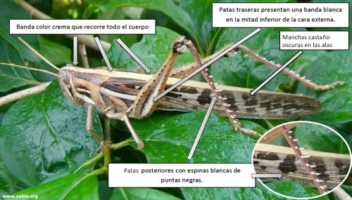 Posición de la Sociedad Boliviana de Entomología ante el Ataque de Langostas